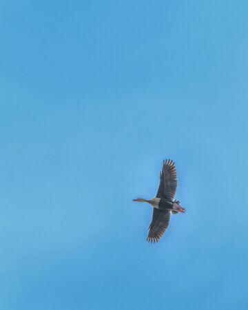 Ducks flying at a cloudy day in samborondon district, guayas, ecuador