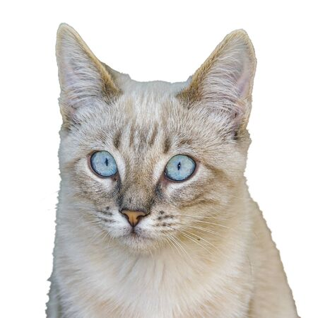 Blue eyes cute grey kitten cat photo isolated on white background