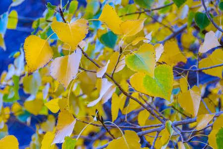 Detail view of yellow tree leaves, el leoncito national park, calingasta district, san juan province, argentina