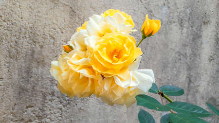 Yellow and white colors rose at home garden