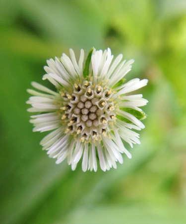 white: White grass flower