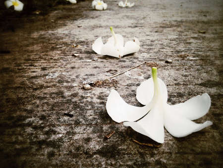 white: Falling plumeria flower on the ground