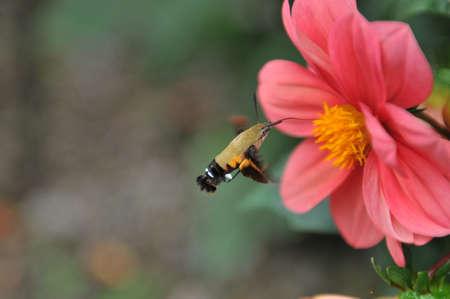 Hummingbird hawk-moth with flower