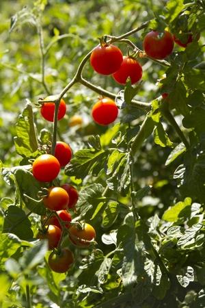 Sun Sweet Tomaten op Wijnstok Stockfoto