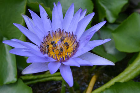 violet lotus and bee in nature photo