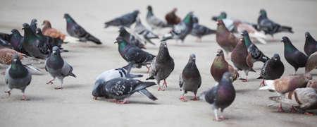 Pigeons in New York City photo