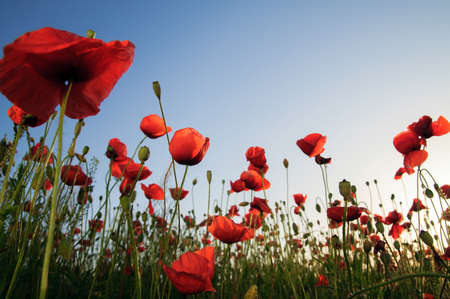 red poppies on green field: Poppies