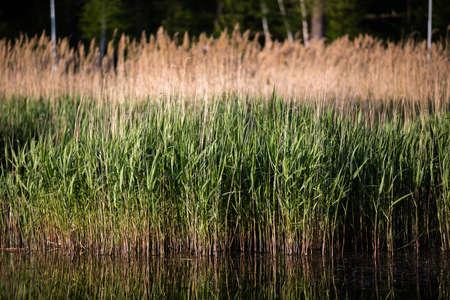 pozo de agua: Reed