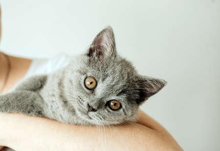 Glückliches Kätzchen mag es, von Frauenhand gestreichelt zu werden. Die Britisch Kurzhaar