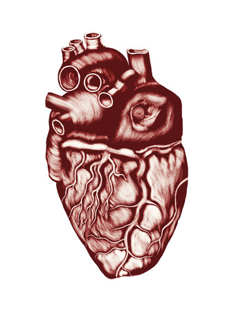 heart valves: Human Heart Anatomy: chambers, valves and vessels, isolated over white. Stock Photo