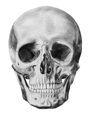 tete de mort: Une illustration de crâne humain isolé sur fond blanc