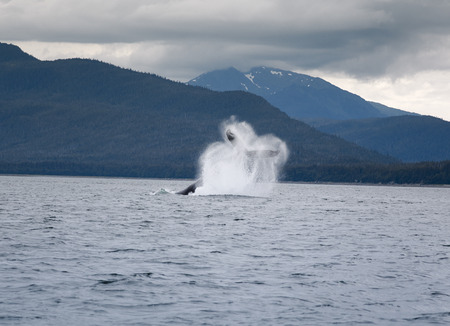 breaching: Humpback whale breaching near Juneau, Alaska Stock Photo