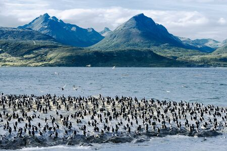 cormorants: Colony of King Cormorants On Ilha Dos Passaros Located on the Beagle Channel, Tierra Del Fuego, Argentina