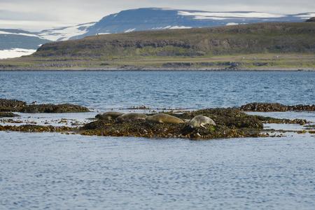 seaweeds: Seals resting on seaweeds at Westfjords peninsula, Vigur Island, Iceland. Shallow depth of focus