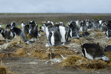 pygoscelis papua: Colony of Gentoo penguins (Pygoscelis papua) at Volunteer Point, Falkland Islands
