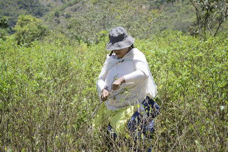 sud: Worker  pulls ripe coca leaves off a tree during a harvest on the hills of Sud Yungas, Bolivia. Every three months the coca trees are ready for a harvest, which is followed by the drying of the leaves and the eventual sale in bundles at the coca market.