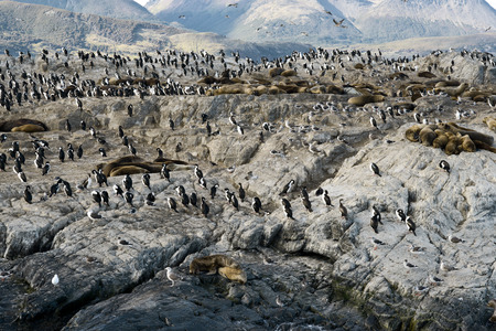 king cormorant: Colony of King Cormorants and Sea Lions on Ilha dos Passaros located on the Beagle Channel, Tierra Del Fuego, Argentina Editorial