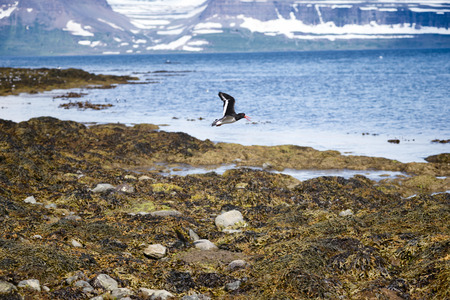 Black Guillemot in flight and the mountainous Westfjords peninsula of Northwestern Iceland viewed from Vigur Island in Isafjordur Bay. Shallow depth of focus. Stock Photo