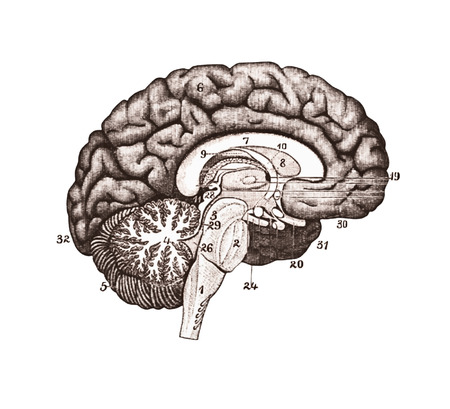 Illustration of brain sections. Brain Anatomy concept.