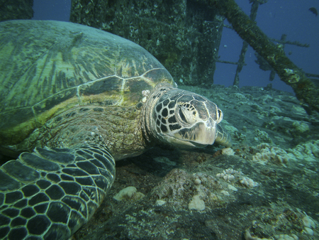 oahu: Close up of a large green turtle resting on a ship wreck, Oahu, HI, USA Stock Photo
