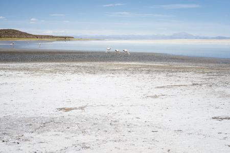 Pink Flamingos In Salty Shallow Lagoon, Salar De Uyuni, Bolivia Imagens