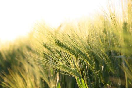 Sunny ripe crop - yellow corn field during sunrise with dramatic sun light Фото со стока