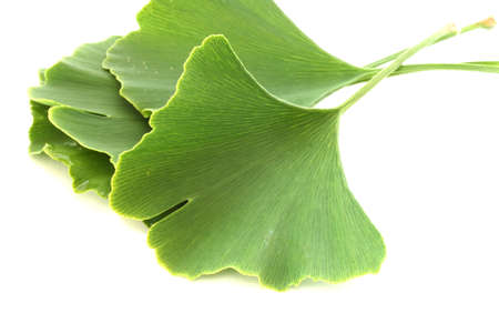 Several green fresh healing ginkgo biloba leaves on white background photo