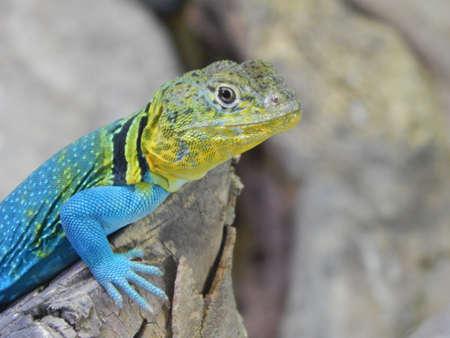 Orange,Yellow,Blue and Black lizard sunbathing Imagens