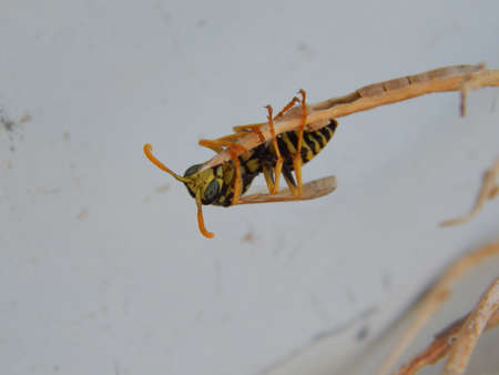 weevil: Weevil Wasp grabbing a stick Stock Photo