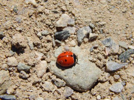 Ladybug sunbathing on a rock