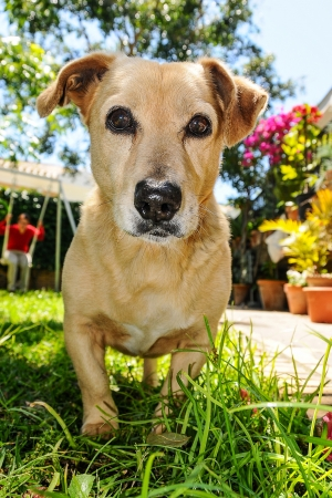 housepet: Brown dog playing in an exuberant garden Stock Photo