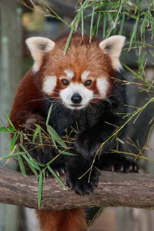 extintion: red panda is a small and rare arboreal mammal from Himalaya and China
