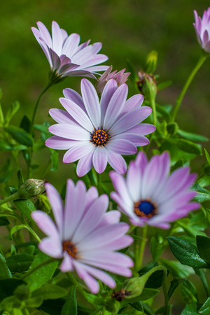 genera: Dimorphotheca, commonly called Cape marigold, is one of eight genera of the Calenduleae, with a centre of diversity in Southern Africa Also called African Daisy and Star of the Veldt  Stock Photo