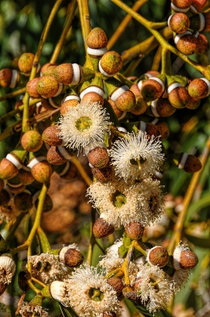 readily: The most readily recognisable characteristics of eucalyptus species are the distinctive flowers and fruit The capsules are roughly cone-shaped and have valves at the end which open to release the seeds Stock Photo
