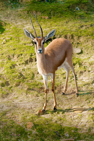 savannas: A gazelle is a kind of antelope Gazelles are mostly found in the grasslands and savannas of Africa, but they are also found in southwest Asia They can reach high speeds for long periods of time  They usually live in herds  They eat plants and leaves