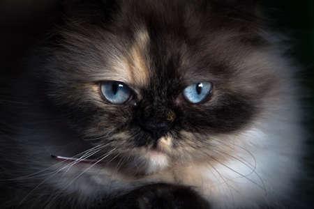 Portrait of a Persian Cat in the dark Stock Photo
