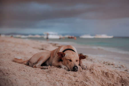 dog rests lying on a beach in the philippines