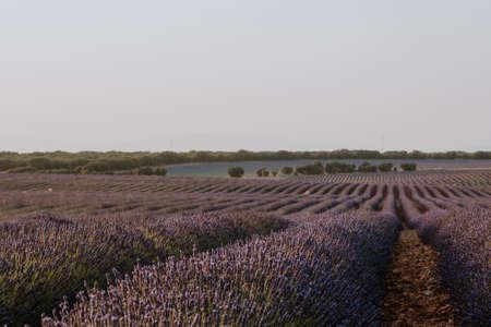 Purple rows landscape in lavender fields with blue sky, copy space