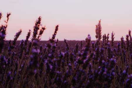 Beautiful detail of scented lavender flowers field perfect Radiant Orchid color in Provence France. Image for agriculture, perfume, cosmetics SPA, medical industries and diverse advertising materials Фото со стока