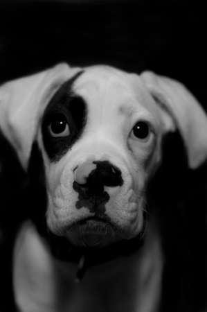 Boxer baby Dog Close Up Portrait. Black And White Photo