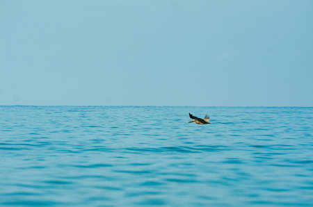 A bird flying low over the ocean. The water is nice and bright and blue.