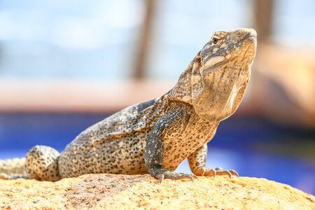 Iguana in Cabo San Lucas