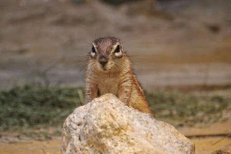 African Ground Squirrel sitting up behind a rock  photo