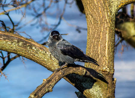 jackdaw: Western Jackdaw sitting on the branches of a tree in the afternoon sun. Stock Photo