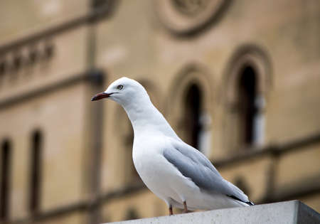 city centre: Seagull in city centre watching for food Stock Photo