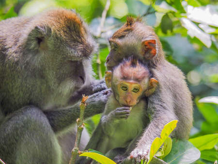 Family of Balinese long-tailed monkey in the rain forest