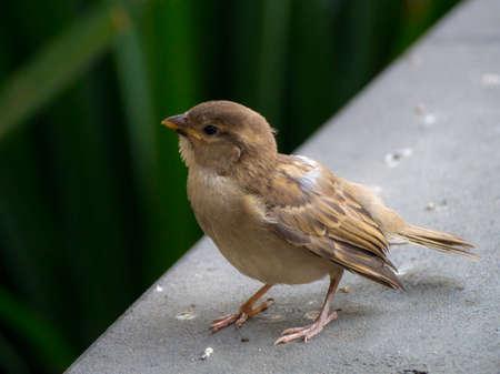 Small Sparrow, a common small brown bird Stock Photo