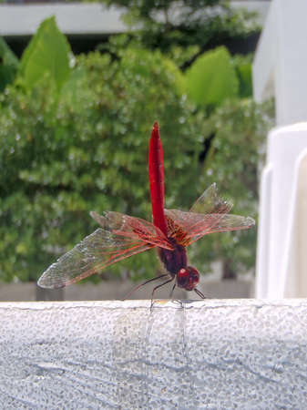 Red-veined dropwing Dragonfly Trithemis arteriosa is a species of dragonfly