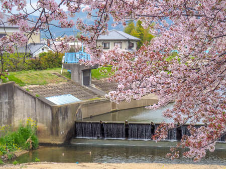 Cherry blossoms by the water with a waterfall in the background