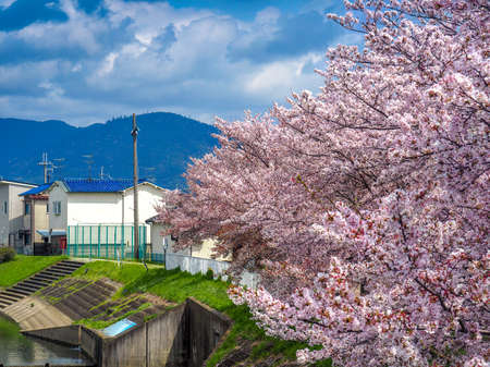 Cherry Blossoms with a Cloudy sky background 版權商用圖片
